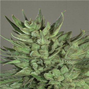 Amnesia Haze - feminizovaná semienka 10 ks Royal Queen Seeds