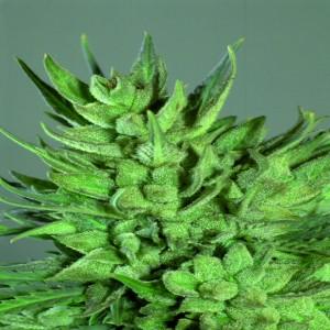 Amnesia Haze - feminizovaná semienka 5 ks Royal Queen Seeds