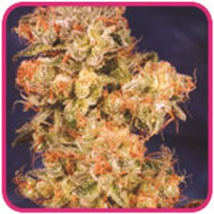 Blue Mistic feminizovaná semienka 3 ks Royal Queen Seeds