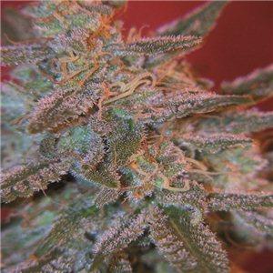Northern Light feminizovaná semienka 3 ks Royal Queen Seeds