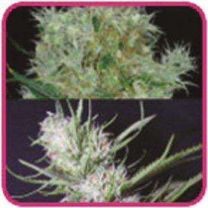 Outdoor Mix feminizované semienka 3 ks Royal Queen Seeds