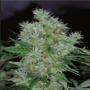Power Flower - feminizované semienka 5 ks Royal Queen Seeds