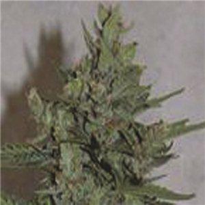 Royal Dwarf - fem. a samonakvétací semienka 10 ks Royal Queen Seeds