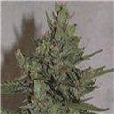 Royal Dwarf - fem. a samonakvétací semená 5 ks Royal Queen Seeds