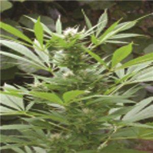Easy Bud - fem. a samonakvétací semienka 10 ks (Outdoor) Royal Queen Seeds