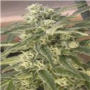 Special Queen n 1 - feminizovaná semená 3 ks Royal Queen Seeds