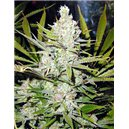 Shining Silver Haze - feminizovaná semena 3 ks Royal Queen Seeds