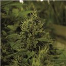 White Widow - semená 10 ks Royal Queen Seeds