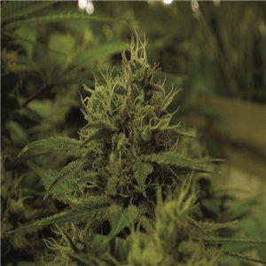 White Widow - semínka 5 ks Royal Queen Seeds