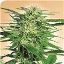 Big Bud - semená 5 ks feminizovaná semená Sensi Seeds