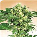 Afghani n.1 - semena 10 ks standardizovaná Sensi Seeds
