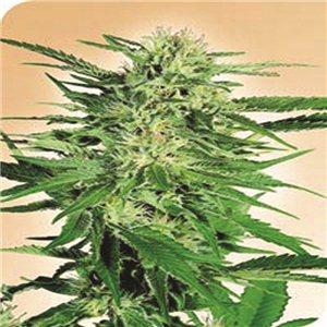 Big Bud - semínka 10 ks standardizovaná Sensi Seeds