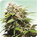 California Indica - semená 10 ks štandardizovaná Sensi Seeds