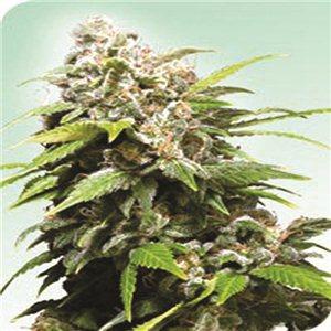 California Indica - semienka 10 ks štandardizovaná Sensi Seeds