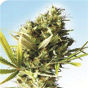 Durban - semínka 10 ks standardizovaná Sensi Seeds
