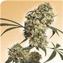Ed Rosenthal Super Bud - semená 10 ks štandardizovaná Sensi Seeds