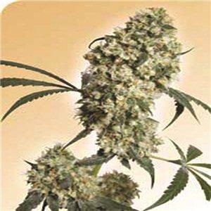 Ed Rosenthal Super Bud - semienka 10 ks štandardizovaná Sensi Seeds