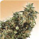 First Lady - semená 10 ks štandardizovaná Sensi Seeds