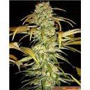 Hawaiien Indica - semená 10 ks štandardizovaná Sensi Seeds