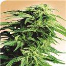 Hindu Kush - semená 10 ks štandardizovaná Sensi Seeds