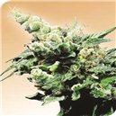 Hash Plant - semena 10 ks standardizovaná Sensi Seeds