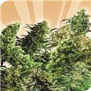 Indoor Mix 2 - 5 ks semien štandardizovaná Sensi Seeds
