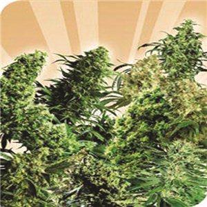 Indoor Mix 2 - semienka 5 ks štandardizovaná Sensi Seeds