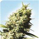 Jamaican Pearl - semená 10 ks štandardizovaná Sensi Seeds