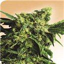 Mr Nice G13 x Hash Plant - semená 10 ks štandardizovaná Sensi Seeds