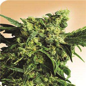 Mr Nice G13 x Hash Plant - semienka 10 ks štandardizovaná Sensi Seeds