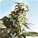 Mexican Sativa - semená 10 ks štandardizovaná Sensi Seeds