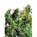 Outdoor Mix 2 - 5 ks semien štandardizovaná Sensi Seeds