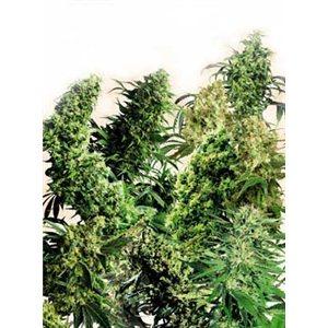 Outdoor Mix 2- semínka 5 ks standardizovaná Sensi Seeds