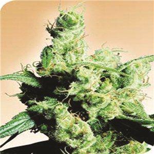 Silver Haze - semínka 10 ks standardizovaná Sensi Seeds