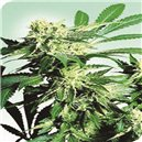 Skunk Kush - semená 10 ks štandardizovaná Sensi Seeds