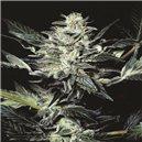 Atomical Haze - semená 5 ks feminizovaná semená Paradise Seeds
