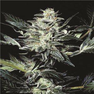 Atomical Haze - semínka 5 ks feminizovaná semínka Paradise Seeds
