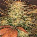 Allkush - semena 5 ks feminizovaná semena Paradise Seeds