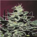 Allkush - semena 5 ks standardizovaná Paradise Seeds