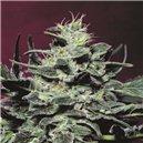 Allkush - semená 5 ks štandardizovaná Paradise Seeds