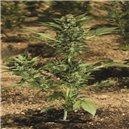 Automaria II - fem. a samonakvétací semená 3 ks Paradise Seeds