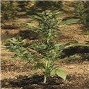 Automaria II - fem. a samonakvétací semená 5 ks Paradise Seeds