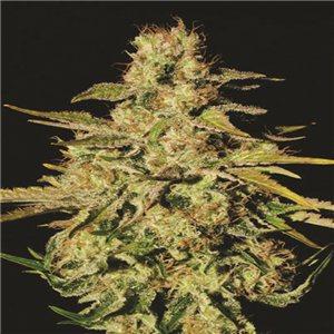 Jacky White - semínka 10 ks feminizovaná semínka Paradise Seeds
