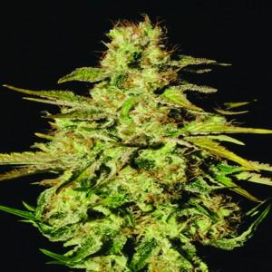 Jacky White - semínka 5 ks feminizovaná semínka Paradise Seeds
