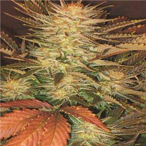 Lucid Bolt semienka 3 ks feminizovaná semienka Paradise Seeds