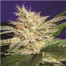 Sheherazade - semena 5 ks standardizovaná Paradise Seeds