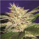 Sheherazade - semená 5 ks štandardizovaná Paradise Seeds