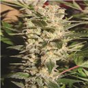 Paradise Sweet Purple - semena 5 ks standardizovaná Paradise Seeds