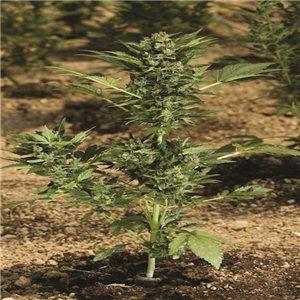 Vertigo - fem. a samonakvétací semienka 10 ks Paradise Seeds