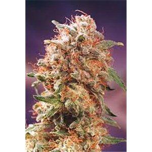 Mr. Nice seeds - Afghan Skunk standartizovana 18 ks